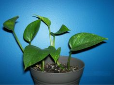 How To Propagate Ivy Vines | 10 Indoor plants that require less light to grow » Gardening Clan