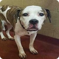 Pictures of LULU a American Pit Bull Terrier for adoption in Atlanta GA who needs a loving home.
