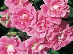 China Doll | Star Roses & Plants Floribunda Rose