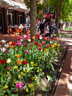 Tulips on the Pearl Street Mall in Boulder Colorado