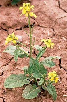 wild mustard; greens and flowers are edible