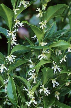 Plant Profile: Sarcococca confusa