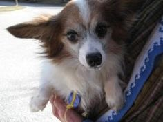 Houdini in NewEngland is an adoptable Papillon Dog in Providence, RI.   Adoption Donation:  $399   ... ...