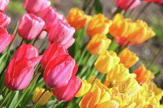 Beautiful Tulips Photograph by Carol Groenen