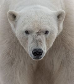Face to Face: A polar bear on Wahlenbergfjorden off of Svalbard. I was in a…