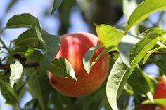 https://flic.kr/p/W4SJAo | cloverleaf farm davis california peaches | cloverleaf farm davis california peaches