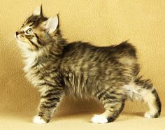 True Kurilians - Elsi Bobtail Cat, Potato Chips, Chips