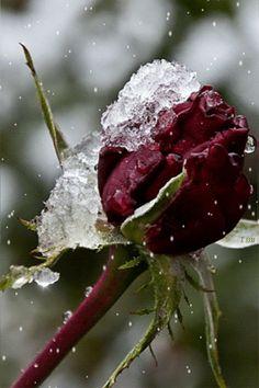 rosa roja con nieve
