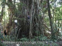 one of the Big 'Ovava Trees, 'Eua