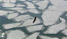 "Bald eagle soars over Ohio River during the 2014  ""polar vortex"".  Photo by Priscilla Bardonaro."