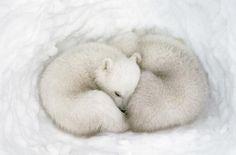 Polar twin bears