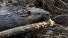 Learn how beavers are being recruited to reverse the effects of global warming and water shortages.