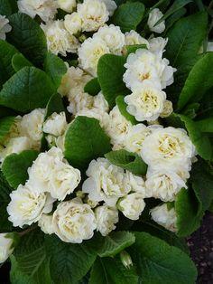 Primula vulgaris Belarina crème, Fête des Plantes Vivaces, Domaine de Saint-Jean de Beauregard, Essonne