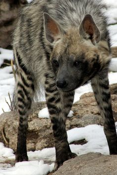 rx online striped hyena [previously pinned by Mary Horn to one of my other boards; thanks… striped hyena [previously pinned by Mary Horn to one of my other boards;] Hyenas are more closely related to felines although they… Continue Reading → Mundo Animal, Nature Animals, Animals And Pets, Cute Animals, Strange Animals, Wild Animals, Striped Hyena, Wolf Hybrid, Whales
