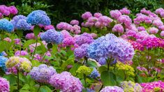 Question and Answer: Why isn't My Hydrangea Blooming? By: Lauren M. Liff for Dabah Landscape Designs Hydrangeas are one of the most popular flowering shrubs used in a typical New Je Hydrangea Season, Hydrangea Bloom, Hydrangea Care, Hydrangea Not Blooming, Hydrangeas, Irrigation, Compost, Southern Landscaping, Hydrangea Varieties