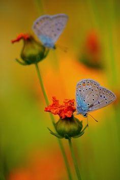 vvv butterfly by Ebrahim bakhtari bonab