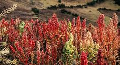 Tips For Growing Your Own Quinoa | Off The Grid News