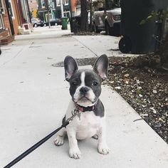 Cakes Puddings Trifles Cobblers etc. Note: Pies Cupcakes Cookies Bars & Candy posted on separate boards Cute French Bulldog, French Bulldog Puppies, Cute Dogs And Puppies, Doggies, Black French Bulldogs, Cute Funny Animals, Cute Baby Animals, Dog Body Language, Bullen