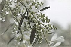 Flor de olivo con lluvia.