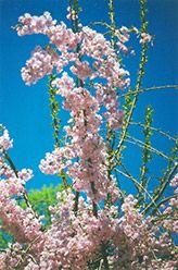 Double Pink Weeping Higan Cherry (Prunus subhirtella 'Pendula Plena Rosea') at Oakland Nurseries Inc