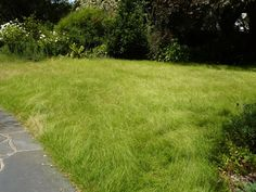 Weeping grass lawn at full height like a native meadow in your back yard