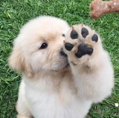 To be Featured Tag your love Via: @Instagram @Pinterest ----------------- #dogs #pets #Golden #Retriever #welovegoldens #goldens #puppy #goldenretrieverlove #goldenretrieversworld #goldenretrievers_ #goldenretriever #goldenretrievers #goldenretrieverpuppy #goldenretrieversofinstagram #animals