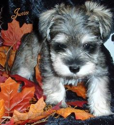 Schnauzer puppy in the leaves!
