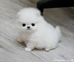A Cute Pomeranian puppy! Pomeranian Puppy For Sale, Cute Pomeranian, Micro Teacup Pomeranian, Micro Teacup Puppies, Cute Puppies, Cute Dogs, Dogs And Puppies, Puppy Care, Pet Puppy