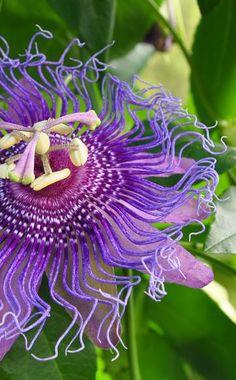 passionsblume (frostverträglich) | grünpflanzen | pflanzen | der, Garten und Bauten