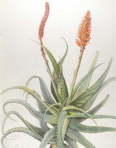 Marta Salamon - Catalogue No 116 Aloe aborescens (Watercolour & Gouache)