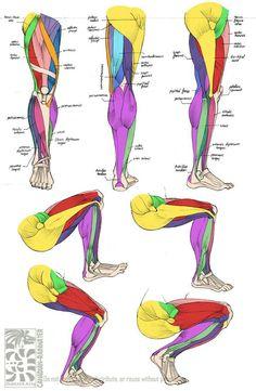 Human leg muscles anatomy