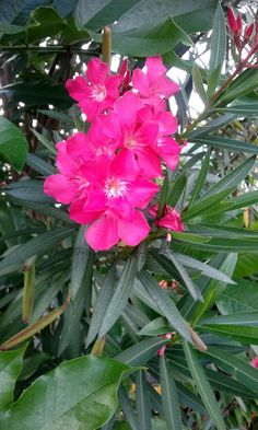 Oleander (Nerium oleander)   This evergreen shrub can reach heights of up to 20'. Oleanders are extremely tolerant of a broad range of soil types. Oleanders flower on new growth, so promoting lateral branching in spring can increase bloom count, these flowers occur in clusters. Oleanders are poisonous, this toxin occurs primarily in the sap, be sure to wash hands thoroughly after pruning or handling plant.