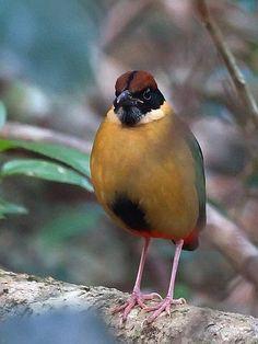 Noisy Pitta (Pitta versicolor) Australia