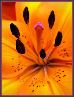 tiger lily macro photography | tiger lily close up tiger lily close up