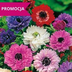 Zawilec St. Brigid mieszanka St Brigid, Anemones, Flowers, Plants, Plant, Royal Icing Flowers, Flower, Florals, Floral