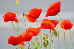 Poppy Flowers by michael