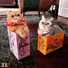 You drink em we sit em.  #exoticshorthair #cat #cute #flatface #kitten #meow #pet #mreggs #catlover #exoticsofinstagram #smushface #weeklyfluff #livelacroix #lacroix #sirpumpkin