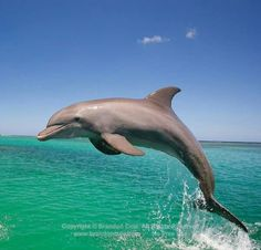 Dolphin. Dolphin Images, Dolphin Photos, Shark Diving, Bottlenose Dolphin, Sea Otter, Ocean Creatures, Killer Whales, Sea World, Marine Life