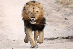 Kano Lion: Zoological Garden Awaits Arrival Of Reinforcement From Abuja - The Next Edition Kruger National Park, National Parks, Lion Hunting, African Bush Elephant, Zoological Garden, Male Lion, Game Reserve, Tanzania, Lions