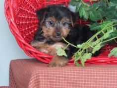 Puppies for Sale Yorkies For Sale, Puppies For Sale, Yorkshire Terrier Puppies, Dundee, Dogs, Animals, Beautiful, Animales, Animaux