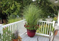 ornamental grass in pot_mini
