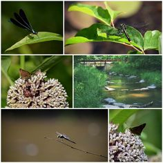 a few things I found in the park yesterday while the girls all played in the woods.  A damselfly showing its wigs, 2 dragonflies resting, skippers sipping on pokeweed blooms.... many tiny jewels.