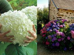 Come aumentare la fioritura delle ortensie   Guida Giardino Vegetables, Flowers, Gardening, Genere, Hobby, Terrazzo, Home, Plants, Green