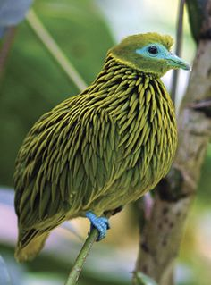 The Golden Fruit Dove - endemic to the Fiji Islands.  The spiky feathers are quite elongated and almost appear iridescent due to their hair-like texture.