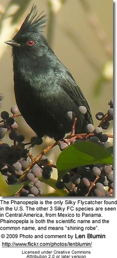 Silky Flycatcher - loves berries and insects. Saw one of these in Anza Borrego State Park in California many years ago.