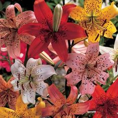 Tiger Lilies - Tiger Lily Mix
