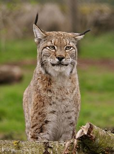 Vienna is a 14 year old female Northern Lynx resident at the Scottish Deer Centre -photo taken on 3 May 2012