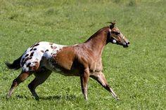 Appaloosa Horses for Sale   Transcendant, Appaloosa Stallion in Mississippi