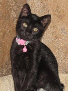 Sabrina - URGENT - CITY OF WICHITA FALLS ANIMAL SERVICES in Wichita Falls, TX - ADOPT OR FOSTER - Female Am. Shorthair KITTEN