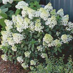 bobo hydrangea   Home / Award Winning Hybrid Hydrangea (Bobo®) - White Flower Farm